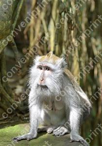カニクイザル1_インドネシア・バリ島