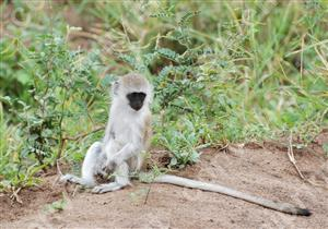 サバンナモンキー2_タンザニア