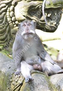 カニクイザル3_インドネシア・バリ島
