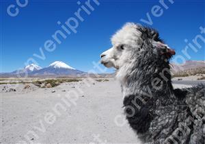 リャマ1_ボリビア・ウユニエンコ
