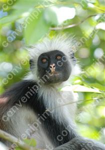 レッドコロブス_タンザニア・ザンジバル島