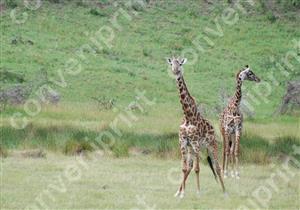 キリン_タンザニア