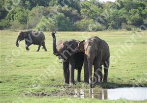 アジアゾウ(スリランカ)