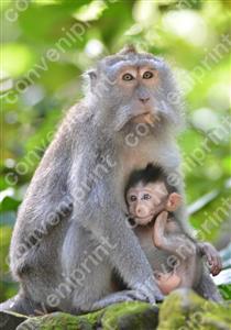 カニクイザル2_インドネシア・バリ島